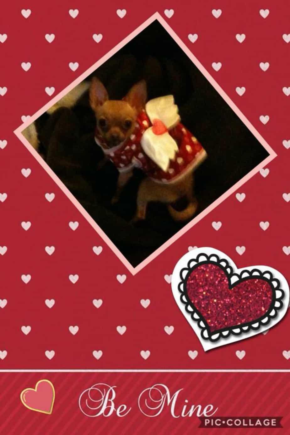 Valentine chihuahuas