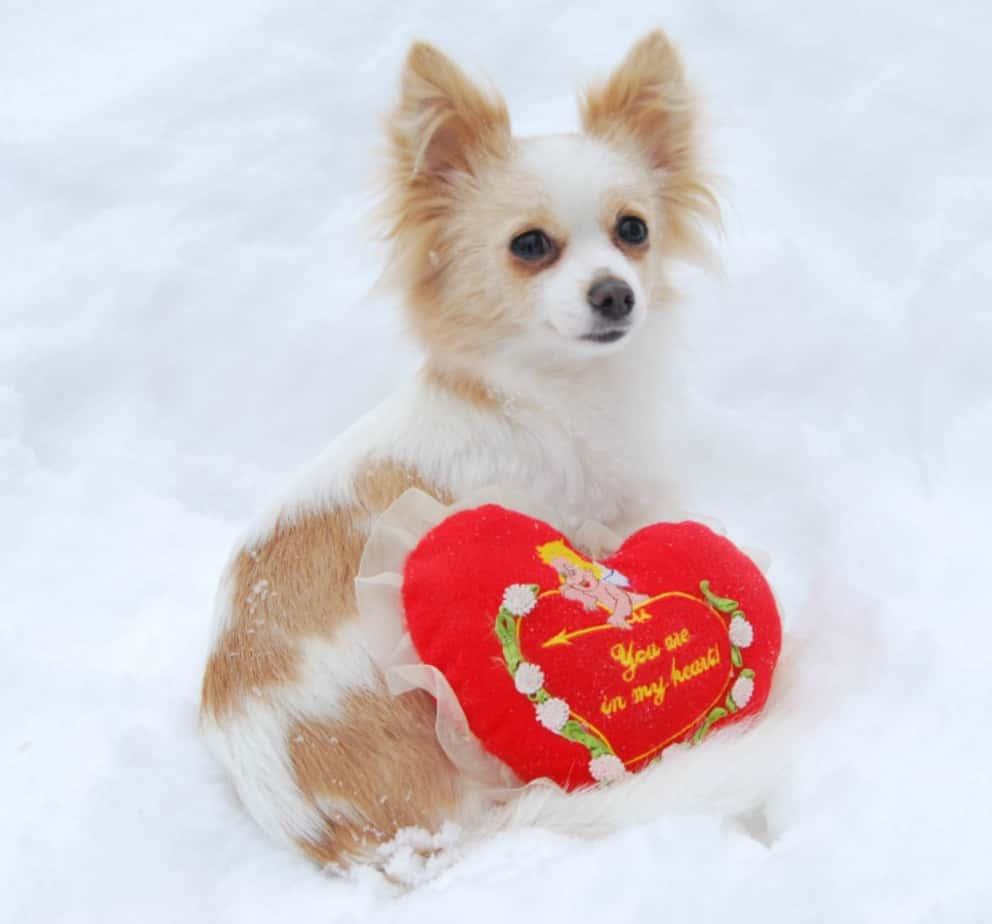 Valentine chihuahua