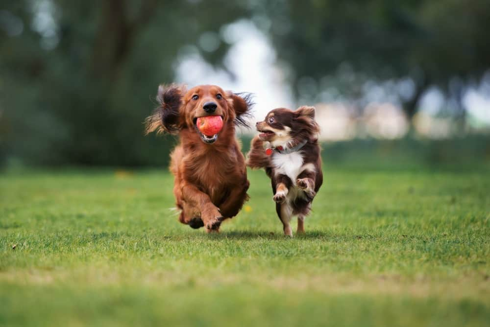 chihuahua and dachshund playing outside