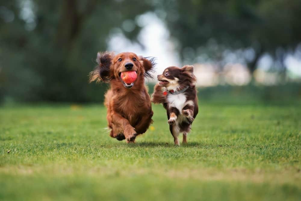 chihuahua and dachshund playing outside