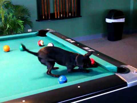 Pool Playing Chihuahua Video