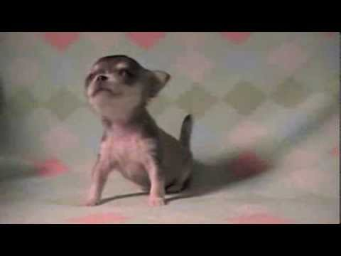 Watch a Chi Pup Learn To Walk