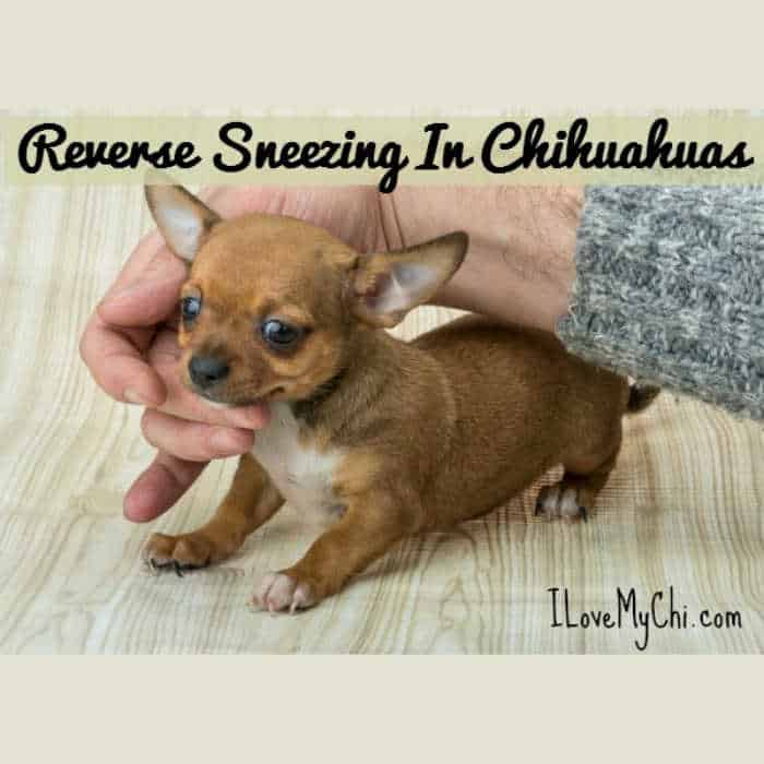 tan chihuahua puppy with a person's fingers touching their throat