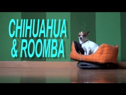 Chihuahua and Roomba