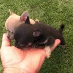 Cute Chi Pups Play Outside