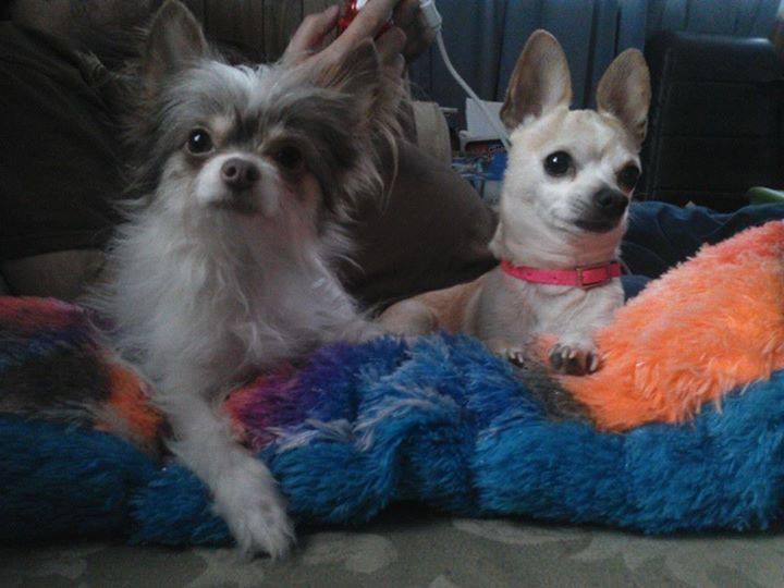 long haired Chihuahua and short hair Chihuahua