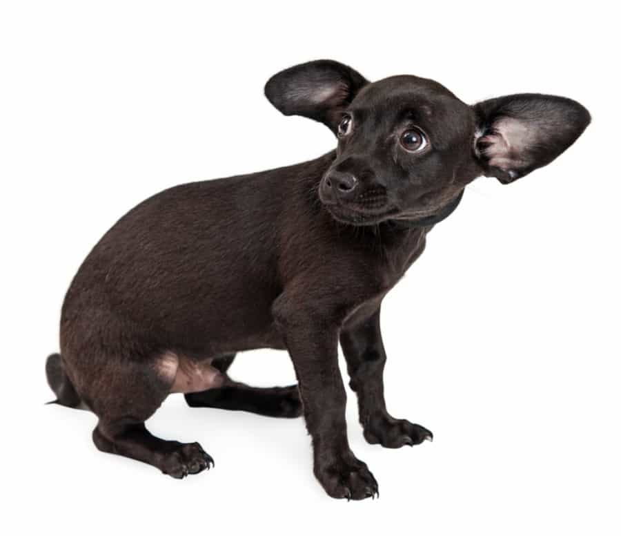 black frightened chihuahua puppy