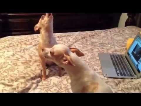 Two Cute Chihuahuas Howling
