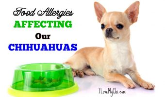 Food Allergies Affecting Our Chihuahuas