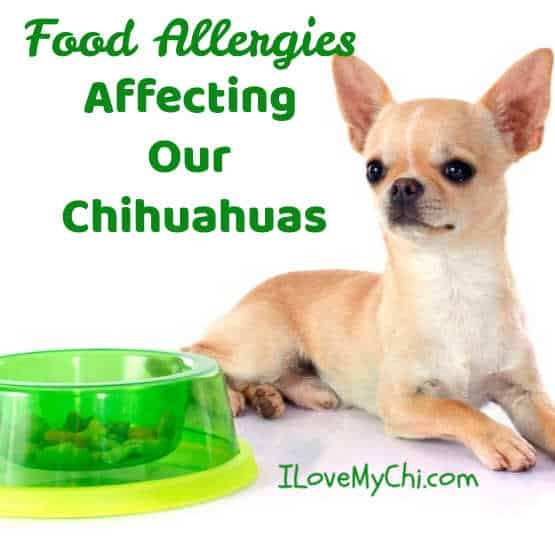 fawn colored chihuahua sitting by neon green dog food bowl
