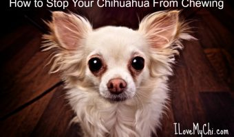 How to Stop Your Chihuahua From Chewing