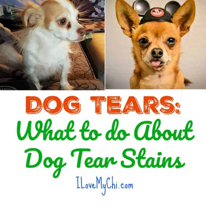 2 chihuahua dogs with tear stains
