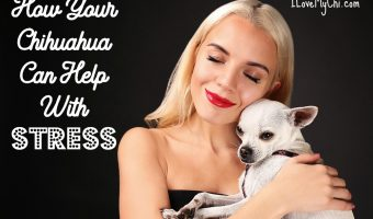How Your Chihuahua Can Help With Stress