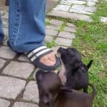 Adorable Happy Chi Pups