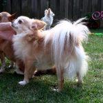 Chihuahua Hoard Plays in the Backyard