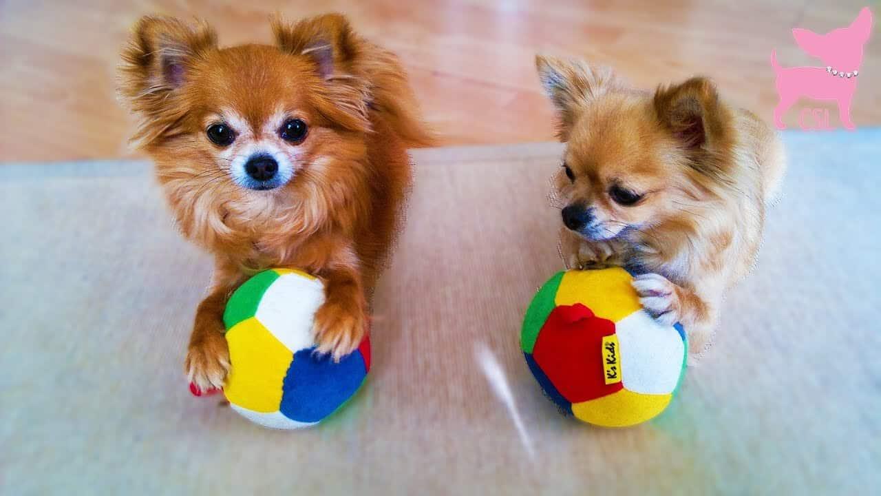 Dog Tricks With Umbrellas and Balls