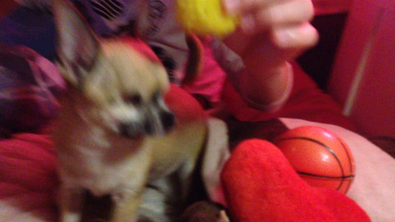 Blind Chihuahua Loves to Play