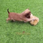 Cutest Chocolate Puppy Ever