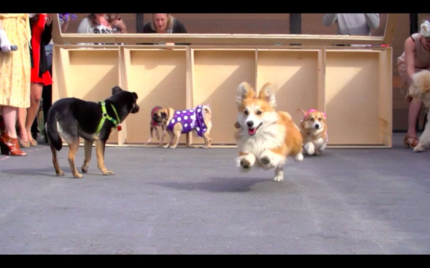Dogs Race the Kentucky Derby