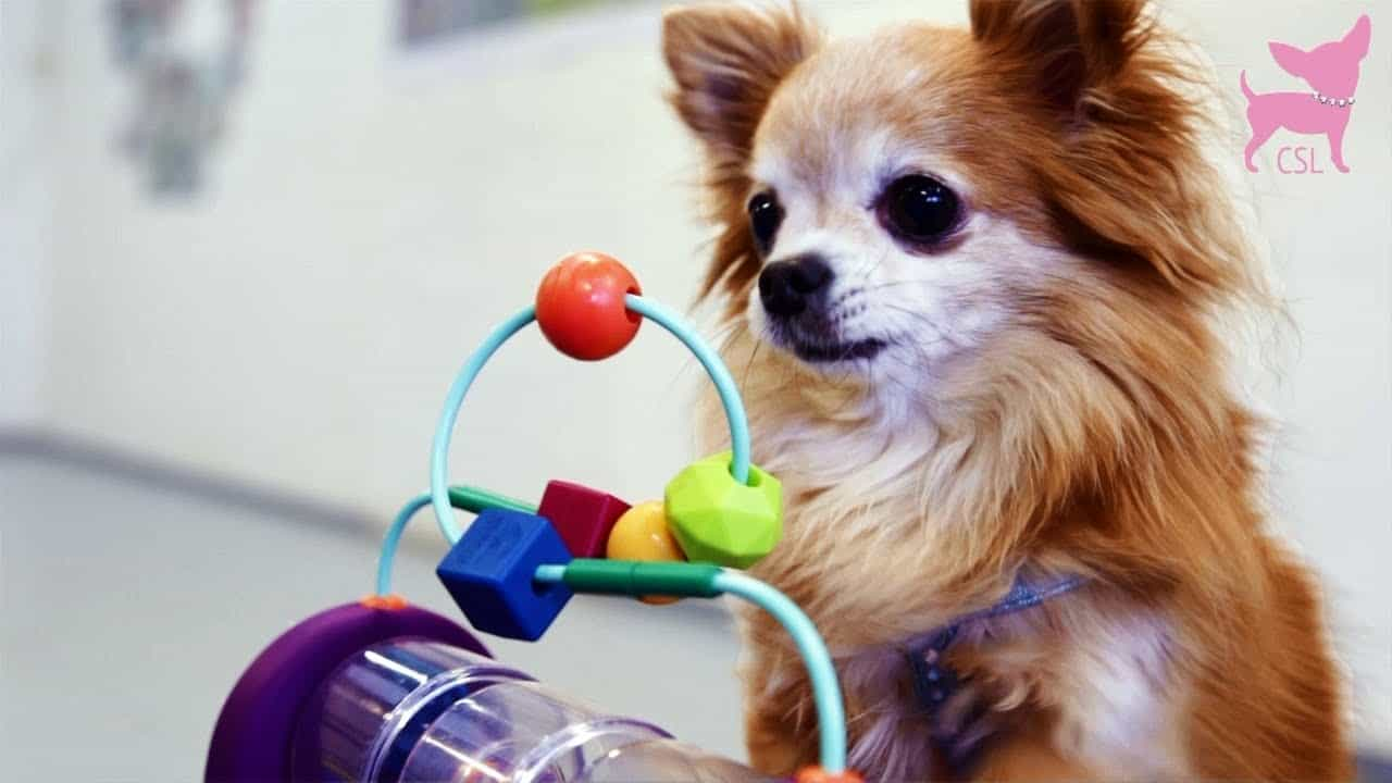 Fun Chi Tricks With Toys and Tunnels