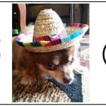 Multiple Personality Chihuahua