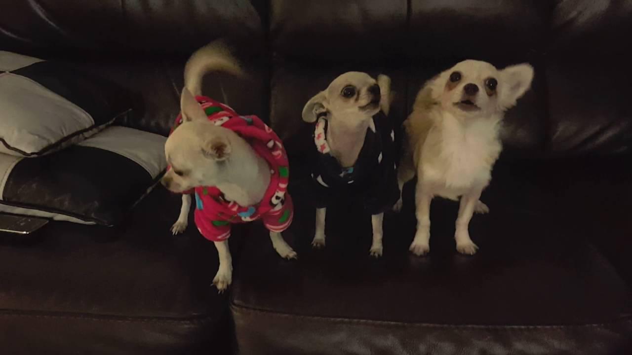 3 Little Chihuahuas