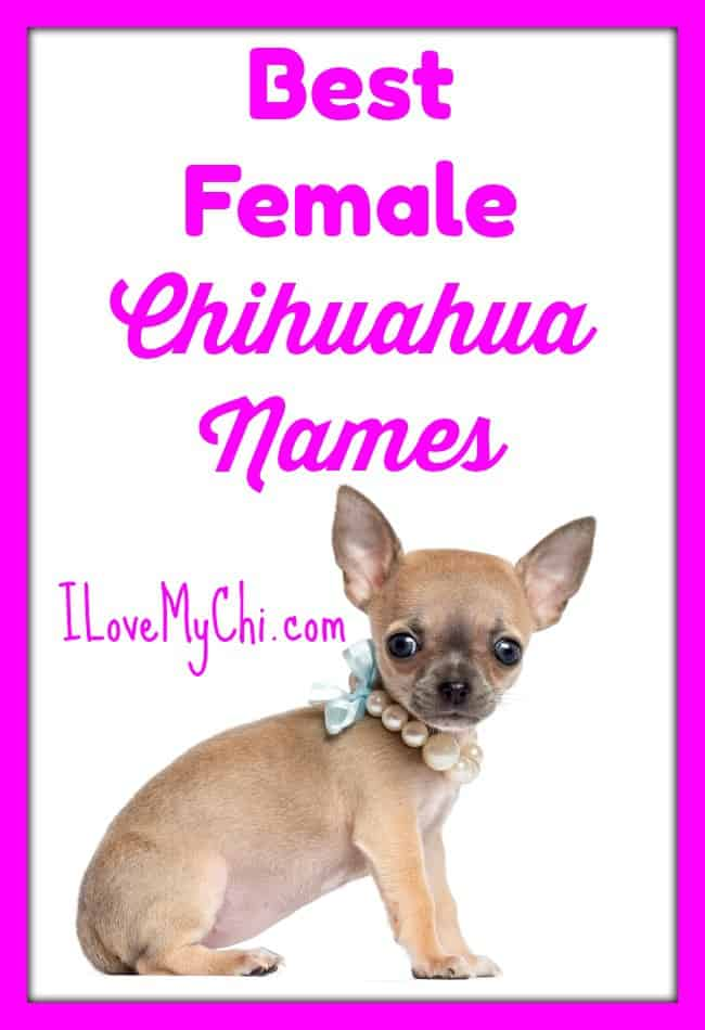 If you are looking for ideas for girl chihuahua names, this ever growing list should give you plenty of ideas. #chihuahua names #female chihuahua names #girl chihuahua names