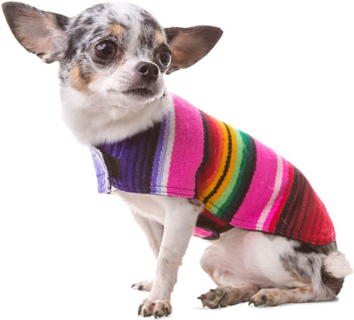 pink poncho on chihuahua