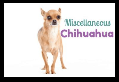 Miscellaneous Chihuahua