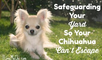 Safeguarding Your Yard So Your Chihuahua Can't Escape