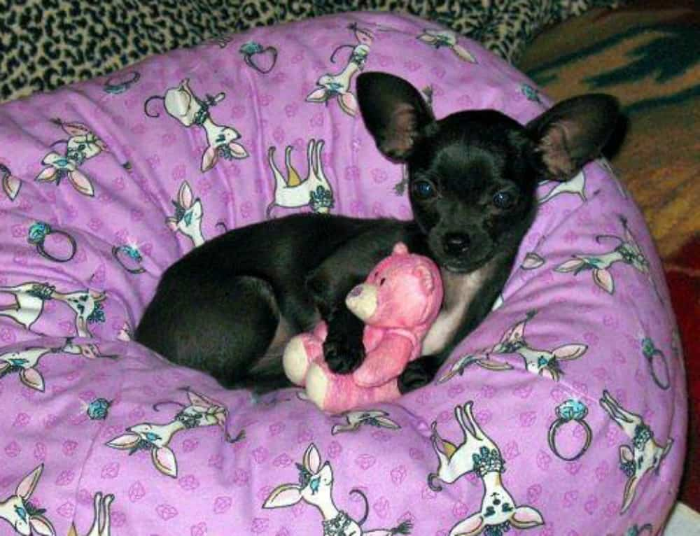 female chihuahua name