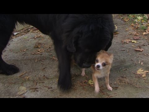 Chi Saves a Newfie from Being Stolen