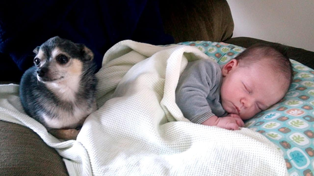 Chihuahuas and Babies