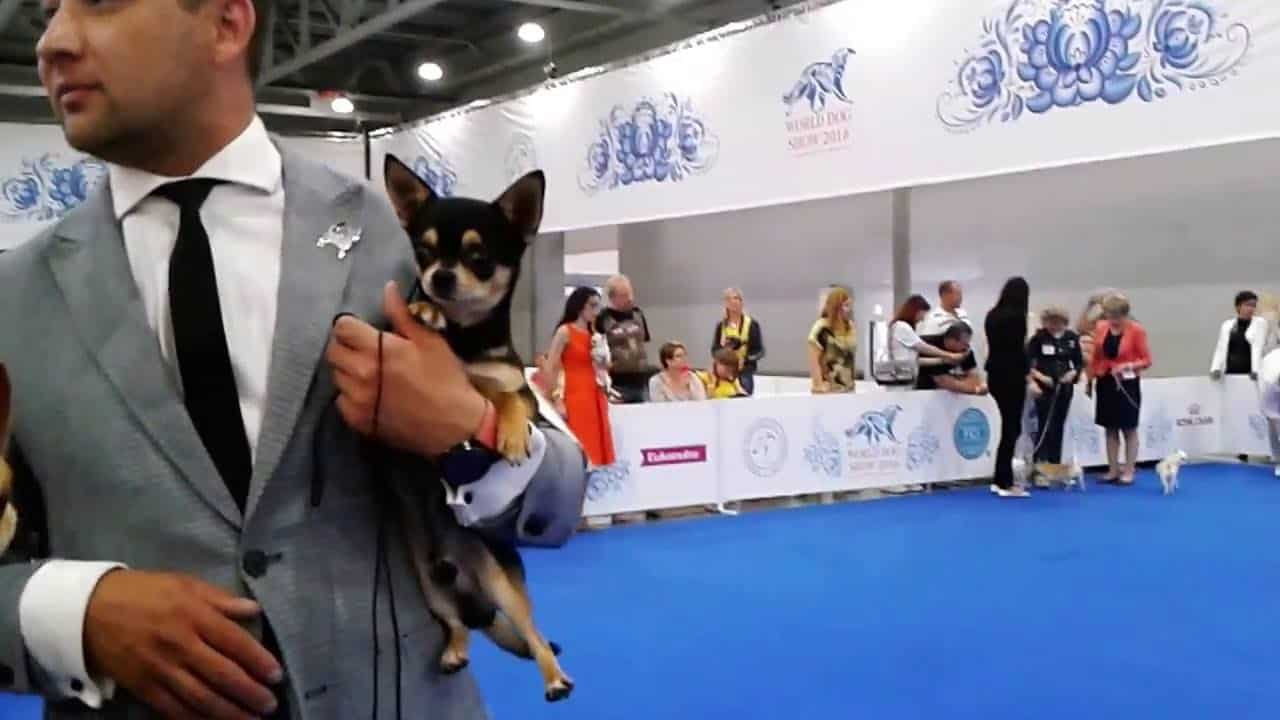 Chis at the 2016 World Dog Show
