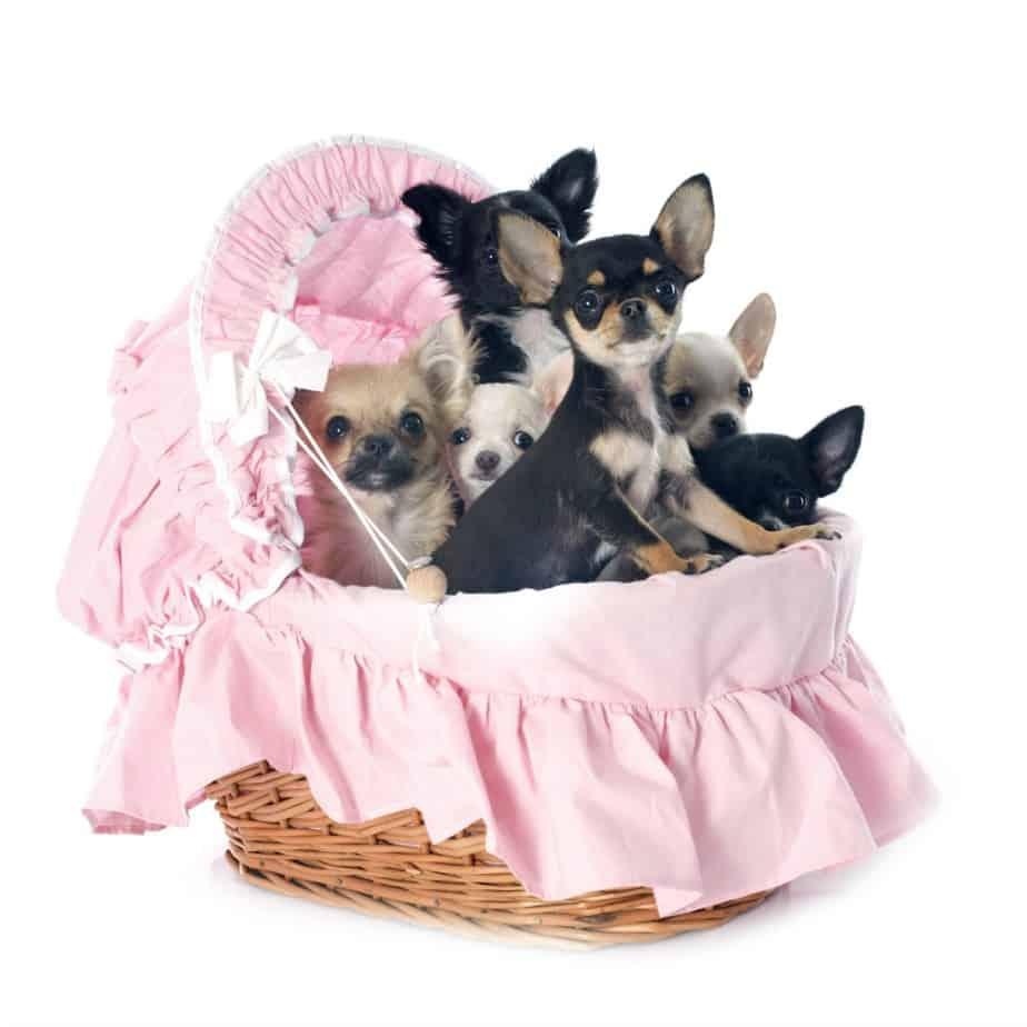female chihuahua names