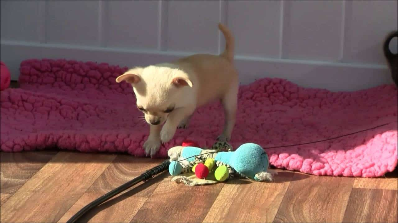 Get Your Puppy Fix-Playing Chi Pups