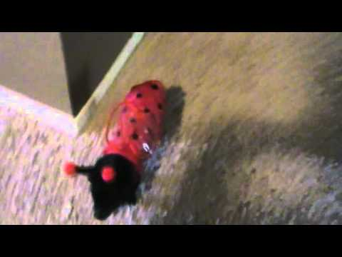 Ladybug Pig and Chihuahua Play