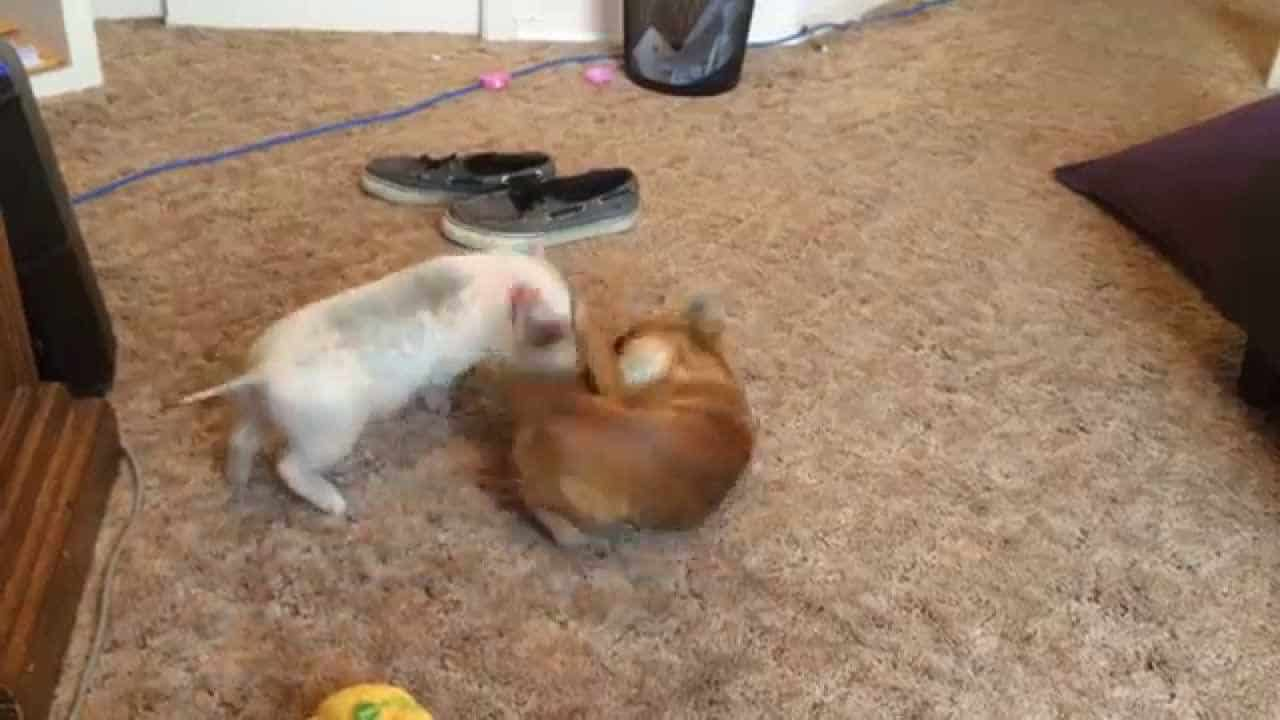 Ralphie and Marcel Play and Wrestle