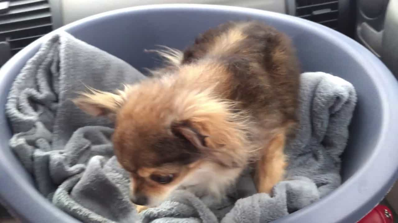 The Angry Chi in a Basket