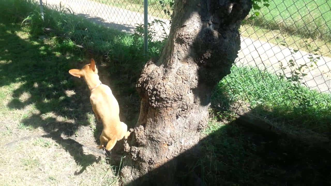 The Chi Who Climbs Trees