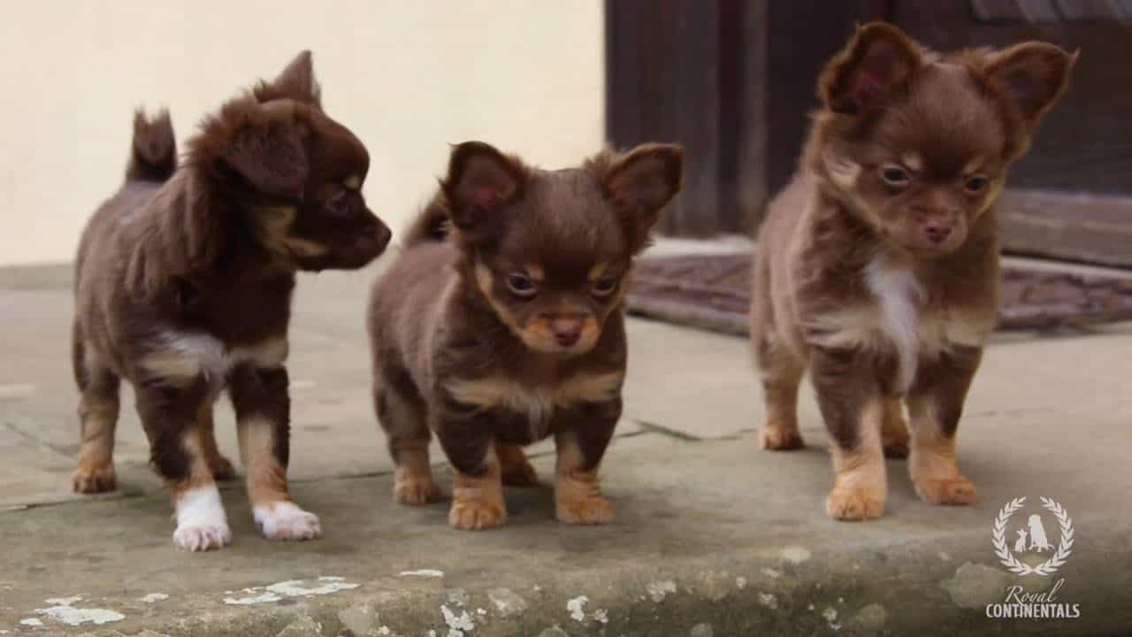 The Chihuahuas of Beverly Hills