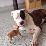 Tiny Chi vs American Bulldog