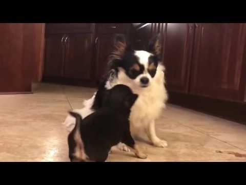 Tussling Chihuahuas