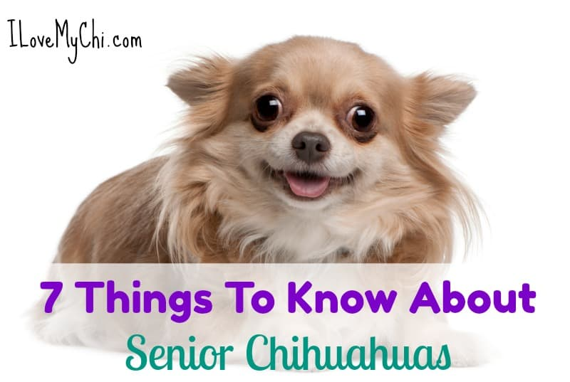 7 Facts About Senior Chihuahuas