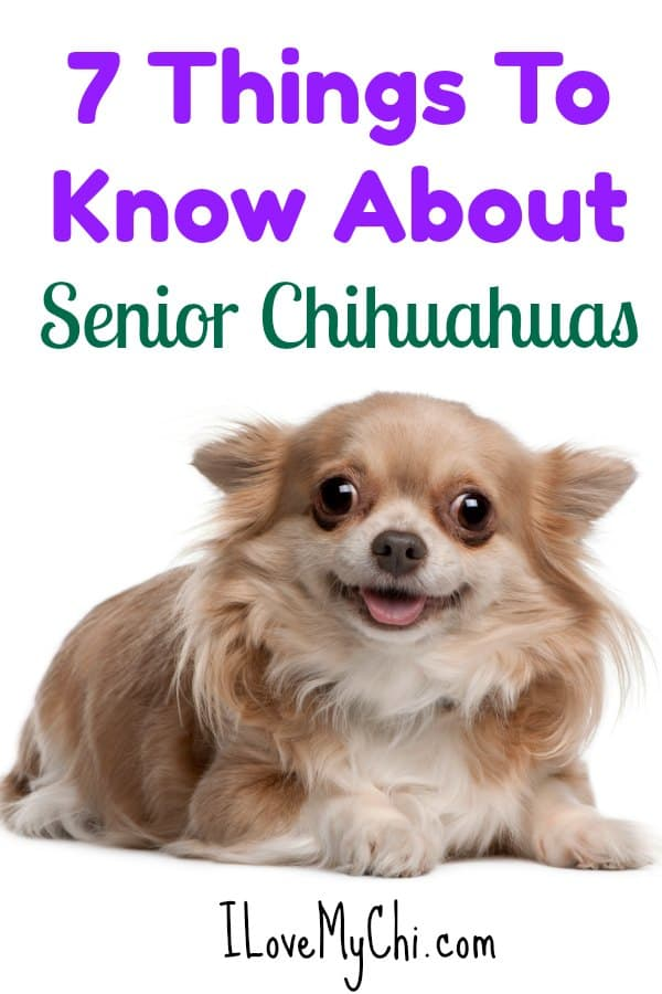 If you have a senior chihuahua dog, this is a must read. #SeniorChihuahua #Chihuahuas #OlderChihuahuas