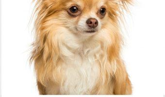 Adult Chihuahuas