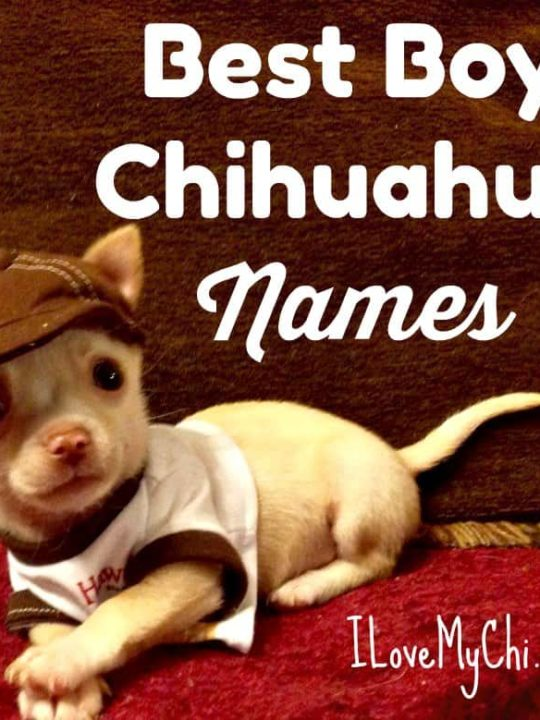 adorable boy chihuahua dog wearing hat and shirt