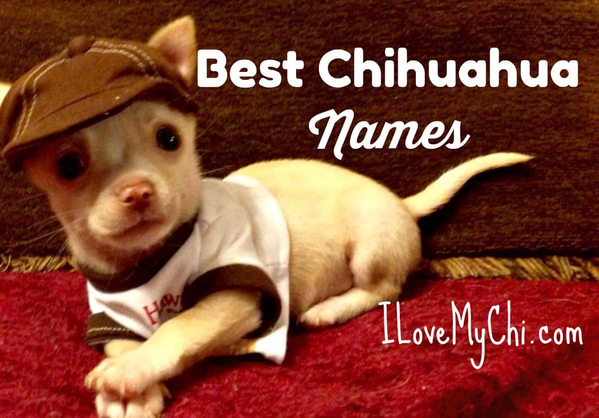 Best Boy Chihuahua Names I Love My Chi