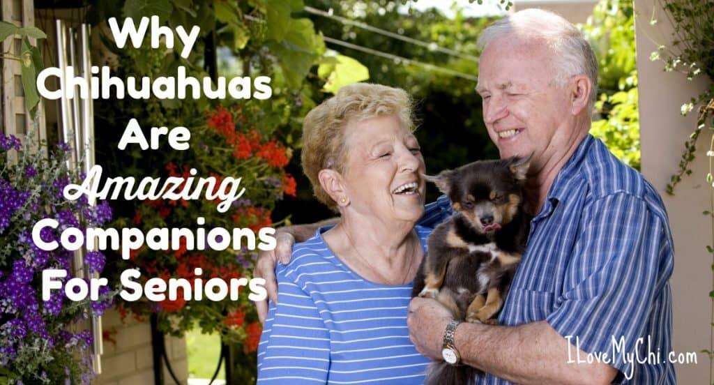elderly couple holding chihuahua