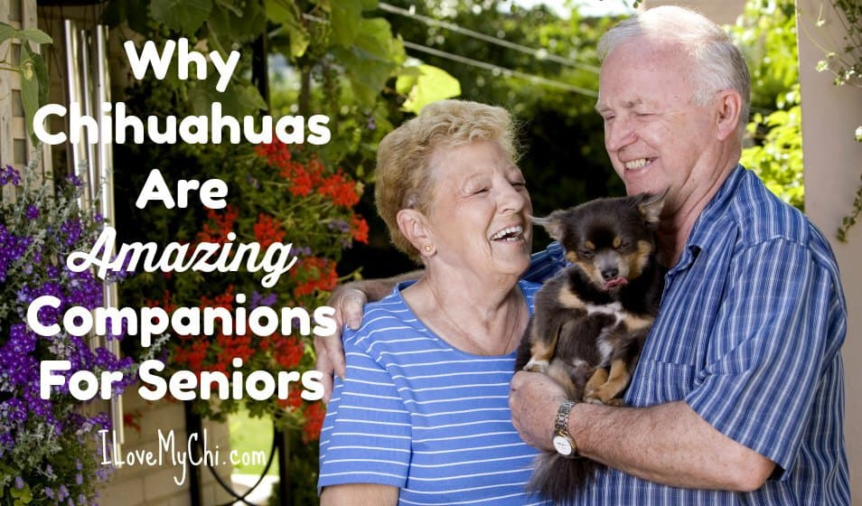 Why Chihuahuas Are Amazing Companions For Seniors